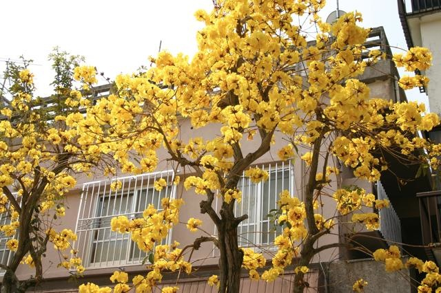 今年はイペイの木の開花が異常に遅い【2013年度】