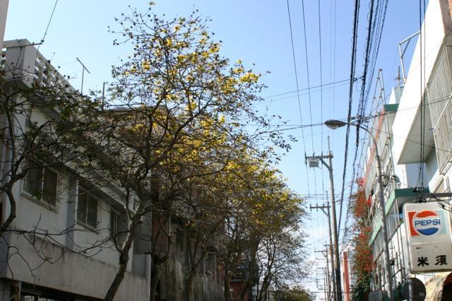 店先のイペイの木は今年も変(2014年度)