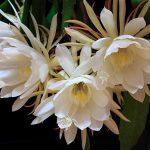 花の写真 / 月下美人の上手な花の撮り方