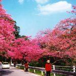 沖縄の桜まつり/日本一早咲きの色鮮やかなサクラを楽しもう♪
