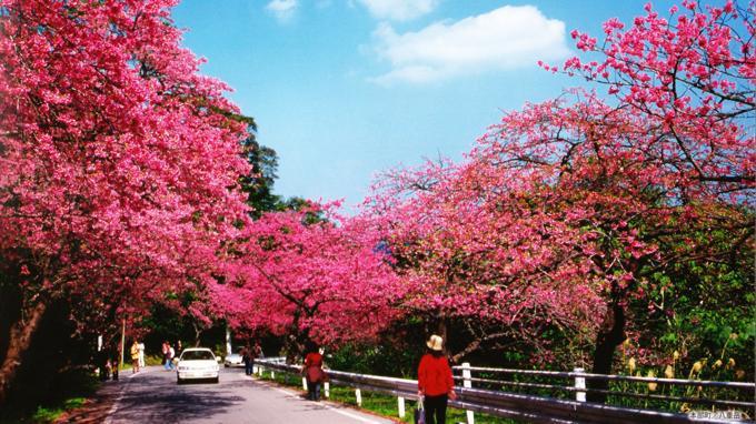 「沖縄 桜まつり」の画像検索結果
