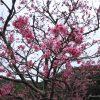 山頂まで続く寒緋桜の並木道が素晴らしい八重岳に行ってきた♪