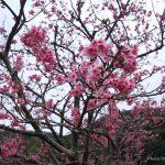 沖縄の桜まつり/ 寒緋桜の並木道が素晴らしい八重岳に行ってきた♪